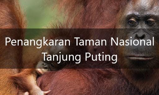 Taman Nasional Tanjung Puting, Penangkaran Orangutan Kalimantan Di Hutan Liar